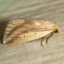 Feeble Grass Moth
