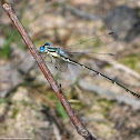 Slender Spreadwing damselfly (male)