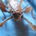 Find Stick Insects in Victoria
