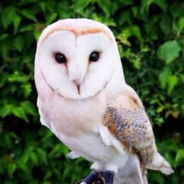 Owl by Brooke Kincaid - Animals - Cats Portraits