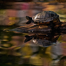Turtle by Jil Norberto - Animals Reptiles ( water, stone, slow, reptile, turtle,  )