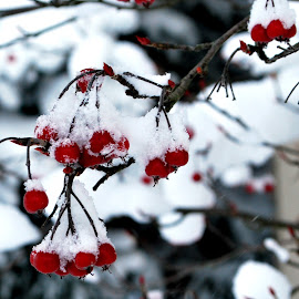 Still Hanging by Elena Stanescu-Bellu - Nature Up Close Trees & Bushes ( up close, red, winter, snow, bush, branches, berries )