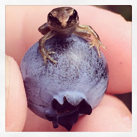 Froglet on a blueberry  by Pip Holden - Animals Amphibians