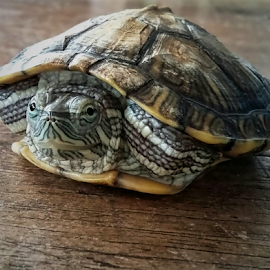 waking from sleep, sikura turtle by Herry (Himura Kenshin) - Instagram & Mobile Android