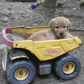Ready For A Ride- Ramses by Ellee Neilands - Animals - Dogs Puppies ( pet, puppy, cute, dog, golden retriever )