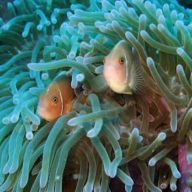 Pink Anenomefish  by Phil Bear - Animals Fish ( reef, fish, thailand, clown fish, pink, anenome )