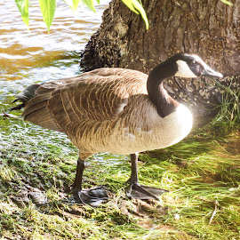 Standing Guard by Lisa Hughart - Animals Birds ( bird, adult, gaurding, river, goose )