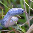 Eastern Small-eyed Snake
