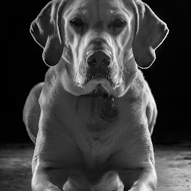 Riggs by Mason Bletscher - Animals - Dogs Portraits ( labrador retriever, labs, animals, dogs, black and white, pup, puppy, yellow, labrador, dog, lab, animal )