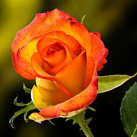 King of the Garden by Rakesh Syal - Flowers Flower Gardens
