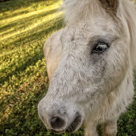 Pure White Lashes by Esther Visser - Animals Horses