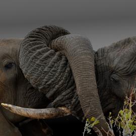Tender Ellies by Mauritz Janeke - Animals Other Mammals ( mammals, elephants, elephant, wildlife, mauritz, africa, elephant contact )