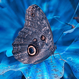 Butterfly Blue by Kelly Murdoch - Animals Insects & Spiders ( colour, cool, uk, landing, butterflies, blue, wings, ice, buteerfly, leaf, leaves, ztam )