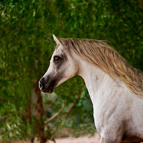Arabian Stallion by Manal Ali - Animals Horses ( stallion, horses, horse, arabian, painting, digital,  )