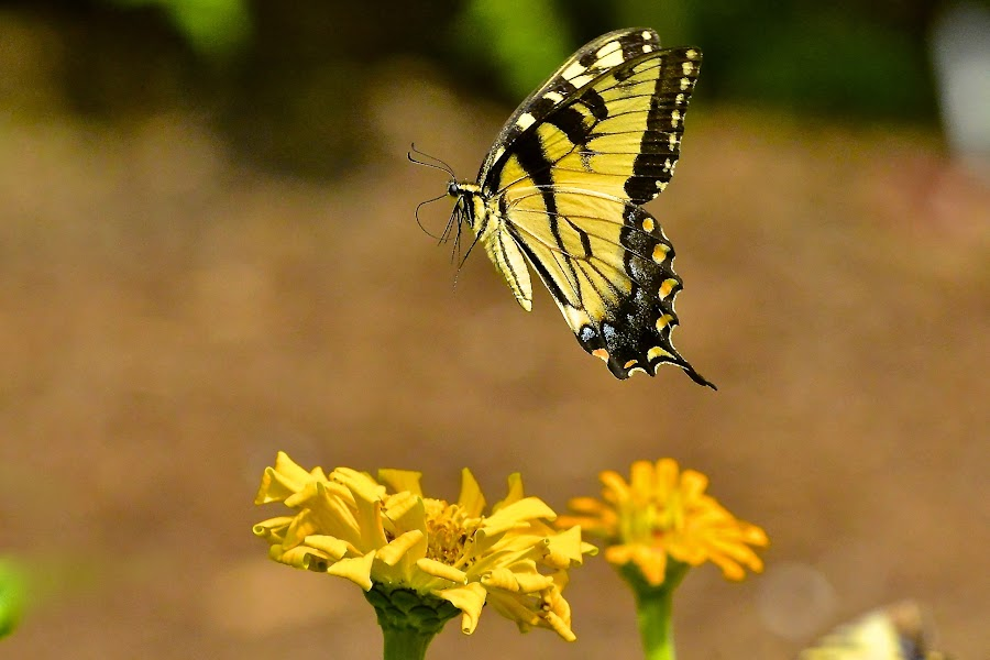 Flight Of The Butterfly by Roy Walter - Animals Insects & Spiders ( butterfly, flight, insect, swallowtail, flower, animal )