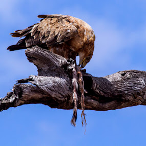 Tawny Eagle feeding from a lion kill by George Watson - Animals Birds ( birds of prey, tree, skin )