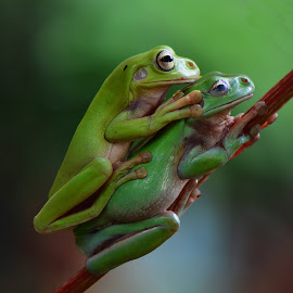 by Ajar Setiadi - Animals Amphibians (  )