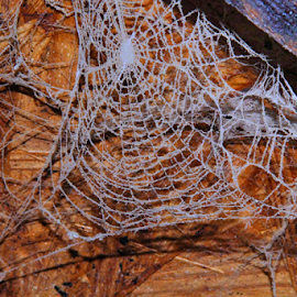 Dusty Cobweb by Marsha Biller - Nature Up Close Webs ( hanging, old, cobweb, complete, dusty )
