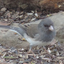 Dark-eyed Junco    Slate-colored Group