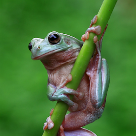 Frog on stick by Esther Pupung - Animals Amphibians