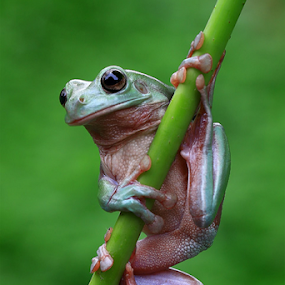 Frog on stick by Esther Pupung - Animals Amphibians (  )