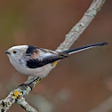 Long-tailed tit (caudatus subspecies)