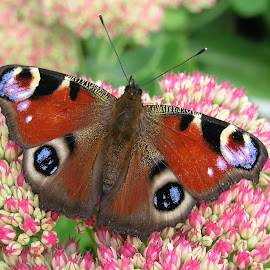 Peacock butterfly on sedum by Ann Chapman - Animals Insects & Spiders ( animal, butterfy )