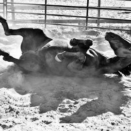 Horse Rolling  by Denise Johnson - Animals Horses ( animals, equine, horses, pet, horse rolling, pets, horse, equines, animal,  )