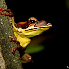 Mountain hourglass tree frog