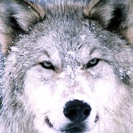 Gray Wolf by David Northcott - Animals Other Mammals ( canis snow smirk portrait )