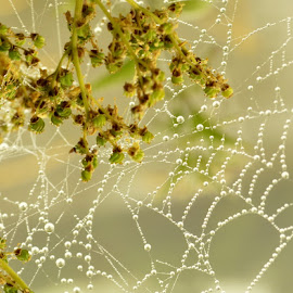 Dew Drops by Joe Ormonde - Nature Up Close Webs ( water, nature, drops, spider, web )