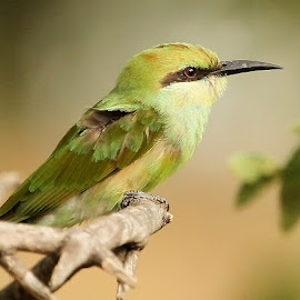 by Sankaran Balaji - Animals Birds
