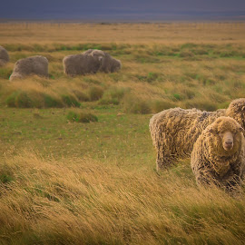 Baaaaaa by Paul Runze - Animals Other Mammals ( sheep x falkland x islands, 2014 so america, family )