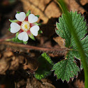 Wild barren strawberry
