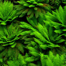 Fern Trees by Scott Cove - Nature Up Close Trees & Bushes ( fern, green, trees, leaves, ferns )