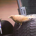 Clay-coloured Thrush/ Yigüirro
