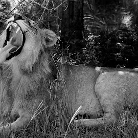 by James Blyth Currie - Animals Lions, Tigers & Big Cats