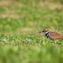Killdeer (with grasshopper)