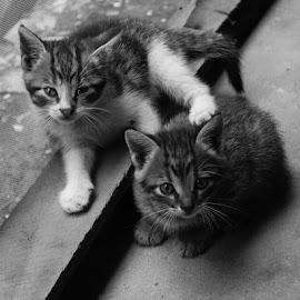 Jinx and Minx by Yaaqub Ibn Yaaqub - Animals - Cats Kittens