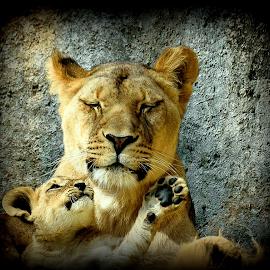 Mom and son by Gregg Pratt - Animals Lions, Tigers & Big Cats ( lion )