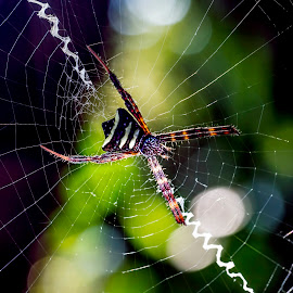 Spider Wonder by Alfonso Rahardja - Animals Insects & Spiders