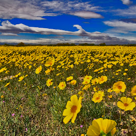 Desert Daisy's by Patrick Flood - Landscapes Prairies, Meadows & Fields ( canon, wildflowers, photosbyflood, yellows, california, fine art, deser daisy's, landscape, lancaster, blues )
