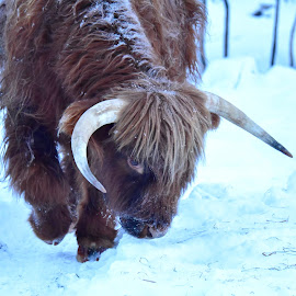 William, kind bull by Kristin Smestad - Animals Other ( høylandsfe, hairy cow, cow, highland cattle, cattle, bull )