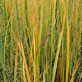 Autumn grasses. by Viana Santoni-Oliver - Nature Up Close Leaves & Grasses ( grasses, seasonal, nature, colorful, autumn, foliage, fall, close-up )