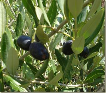 ripe olives_1_1_1