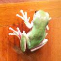 Australian Tree Frog White's Tree Frog Dumpy Tree frog