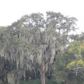 Live Oak by Anna Tripodi - Instagram & Mobile iPhone ( tree, awesome, georgia,  )