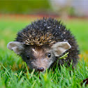Indian long eared hedgehog