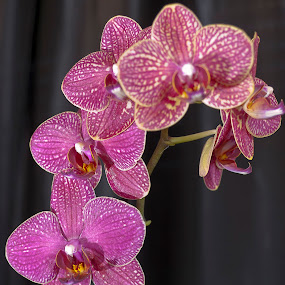 Orchid  by Nuno Miguel Valente - Nature Up Close Flowers - 2011-2013 ( macro, orchid, flowers )