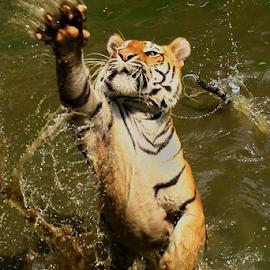 Powerfull Claw by Joshua Sujasin - Animals Lions, Tigers & Big Cats ( panthera tigris, res, sumatera tiger, vertebrae, ragunan zoo,  )